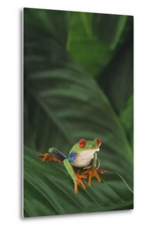 Red-Eyed Tree Frog on Leaf-DLILLC-Metal Print