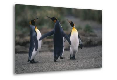 King Penguins Walking Together-DLILLC-Metal Print