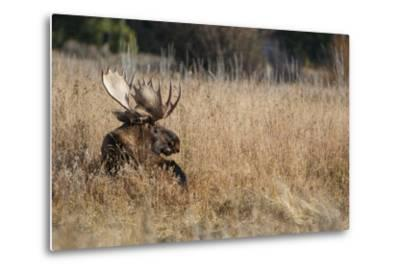 A Bull Moose Rests in Tall Grass in the Fall-Tom Murphy-Metal Print