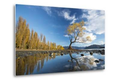 A Lone Cottonwood Tree on Stands on the Bank of Lake Wanaka-Michael Melford-Metal Print