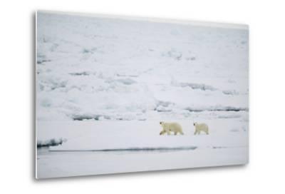 Pair of Polar Bears on Sea Ice-DLILLC-Metal Print