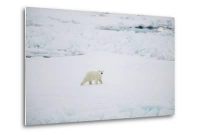 Polar Bear on Sea Ice-DLILLC-Metal Print
