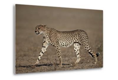 Cheetah (Acinonyx Jubatus)-James Hager-Metal Print