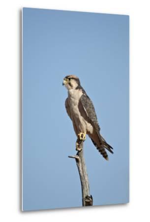 Lanner Falcon (Falco Biarmicus)-James Hager-Metal Print