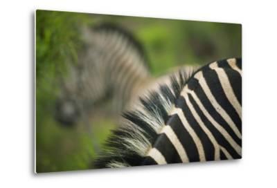 Zebra in Pilanesberg National Park-Jon Hicks-Metal Print