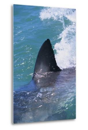 Great White Shark-DLILLC-Metal Print