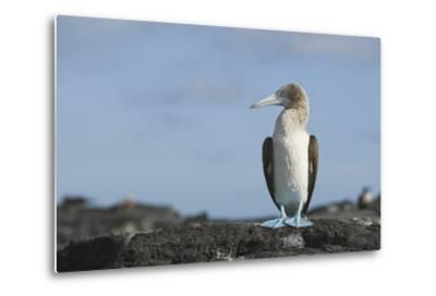 Blue-Footed Booby-DLILLC-Metal Print
