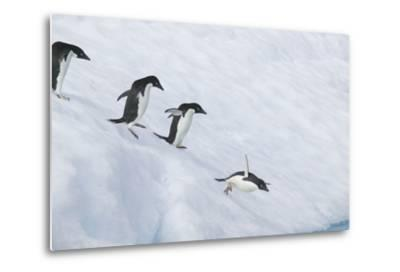 Adelie Penguins Jumping into the Sea-DLILLC-Metal Print