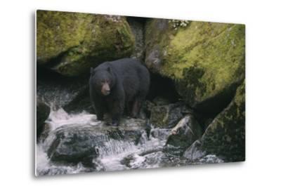 Black Bear in Stream-DLILLC-Metal Print