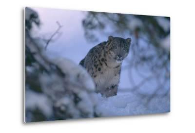Snow Leopard in Snow-DLILLC-Metal Print