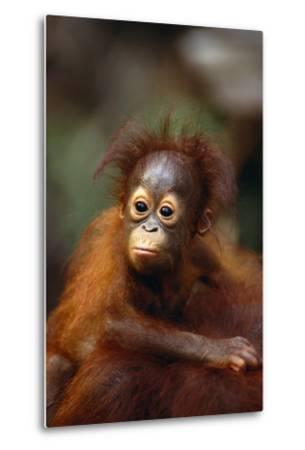 Baby Orangutan Clinging to Mother's Back-DLILLC-Metal Print