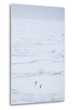 Adelie Penguins Walking along Sea Ice-DLILLC-Metal Print