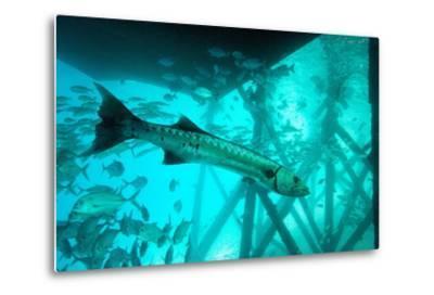 Great Barracuda (Sphyraena Barracuda) (Giant Barracuda) Can Grow Up to 1.8 Metres Long-Louise Murray-Metal Print