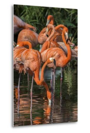 USA, Florida, Orlando. Pink Flamingos at Gatorland.-Jim Engelbrecht-Metal Print