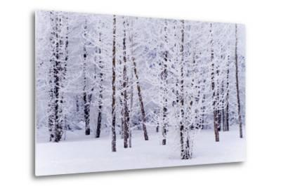 Frost Covered Cottonwood Trees Near Portage Ak Sc Winter Digital Filter-Design Pics Inc-Metal Print