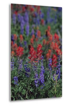 Giant Red Paintbrush and Lupine-DLILLC-Metal Print