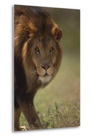 Male Lion-DLILLC-Metal Print