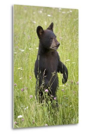 Black Bear Cub in Meadow of Wildflowers Minnesota Spring Captive-Design Pics Inc-Metal Print