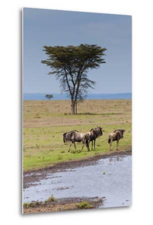 Blue wildebeest, Maasai Mara National Reserve, Kenya-Nico Tondini-Metal Print