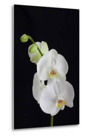 USA, Georgia, Savannah, cluster of orchids.-Joanne Wells-Metal Print