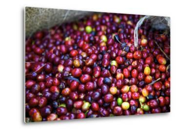 El Salvador, Central America. Carmen Organic Coffee Estate.-Connie Bransilver-Metal Print