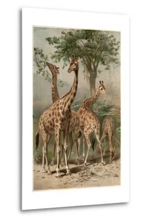The Giraffe by Alfred Edmund Brehm-Stefano Bianchetti-Metal Print