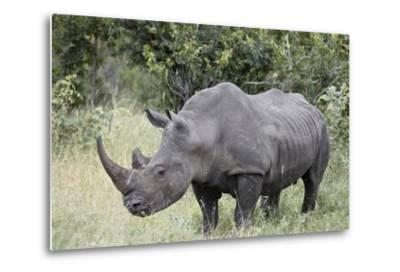 White Rhinoceros (Ceratotherium Simum), Kruger National Park, South Africa, Africa-James Hager-Metal Print