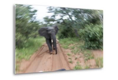 Charging African Elephant, Chobe National Park, Botswana-Paul Souders-Metal Print