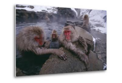 Japanese Macaques in Hot Spring-DLILLC-Metal Print
