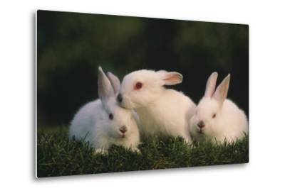 Three White Rabbits-DLILLC-Metal Print