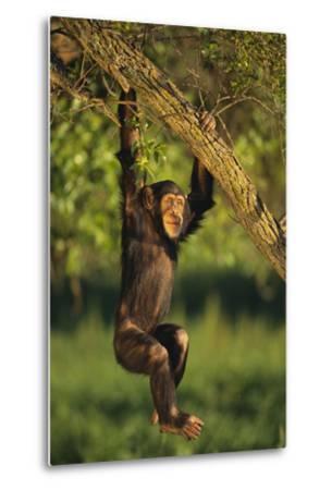 Chimpanzee-DLILLC-Metal Print