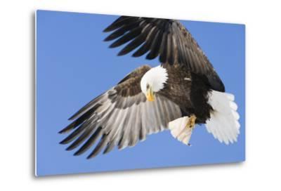 Bald Eagle in Flight with Talons Holding Fish Near Eagle River, Alaska-Design Pics Inc-Metal Print