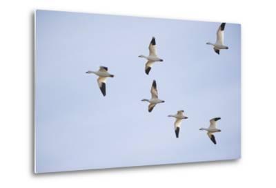 Snow Geese in Flight-DLILLC-Metal Print