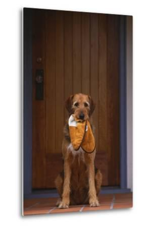Airedale Mix with Slippers in Mouth-DLILLC-Metal Print