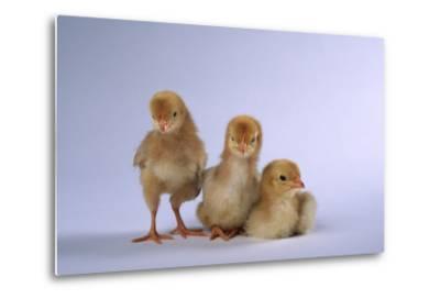 New Chicks-DLILLC-Metal Print