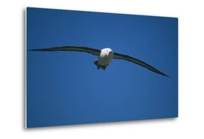 Black-Browed Albatross Flying-DLILLC-Metal Print