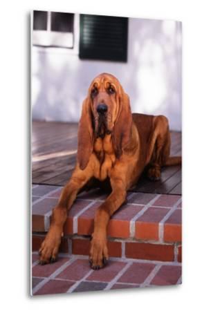 Bloodhound Resting on Porch-DLILLC-Metal Print