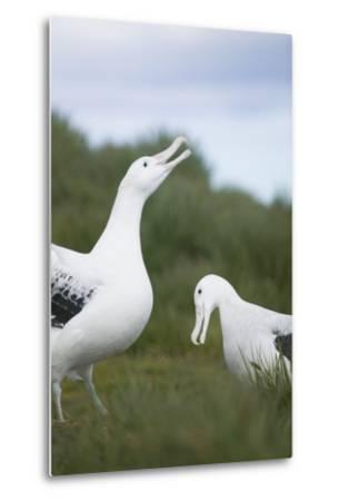 Wandering Albatross Performing Courtship Display-DLILLC-Metal Print