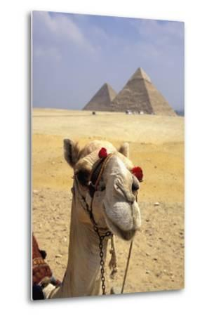 Close-Up on a Camel Looking at the Camera with Pyramids in the Background, Giza, Egypt; Giza, Egypt-Design Pics Inc-Metal Print