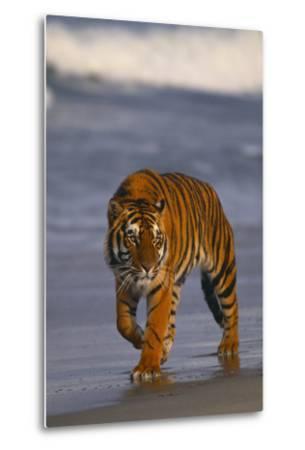 Bengal Tiger-DLILLC-Metal Print