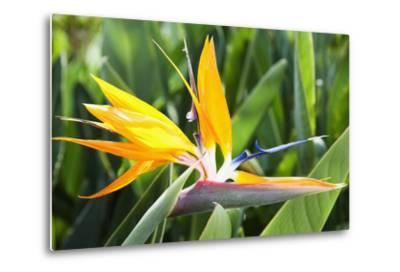 Tropical Bird of Paradise Flower in Full Bloom Oahu, Hawaii, United States of America-Design Pics Inc-Metal Print