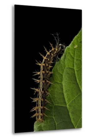 Argynnis Paphia (Silver-Washed Fritillary) - Caterpillar-Paul Starosta-Metal Print