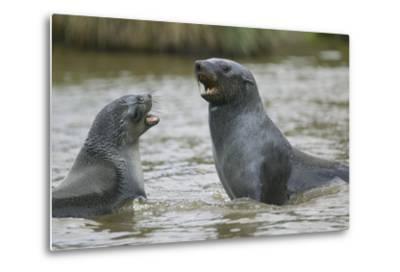 Antarctic Fur Seals Playing in Shallow Water-DLILLC-Metal Print