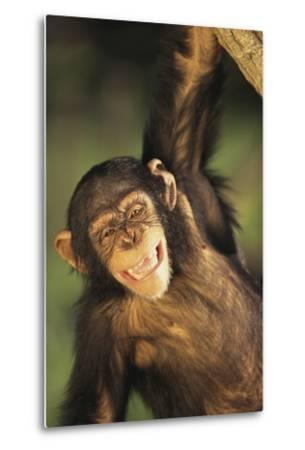 Happy Chimpanzee-DLILLC-Metal Print