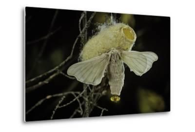 Bombyx Mori (Common Silkmoth) - Female Exposing its Scent Glands (Sacculi Laterales) to Attract Mal-Paul Starosta-Metal Print