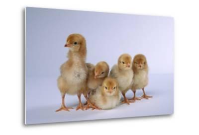 Rhode Island Red Chicks-DLILLC-Metal Print
