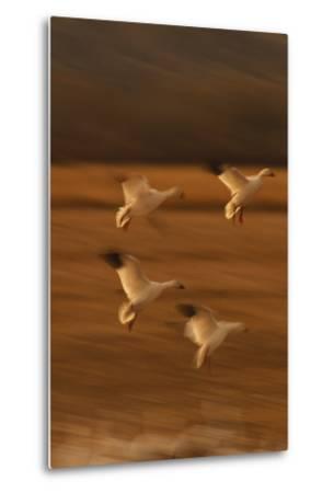 Snow Geese Landing-DLILLC-Metal Print