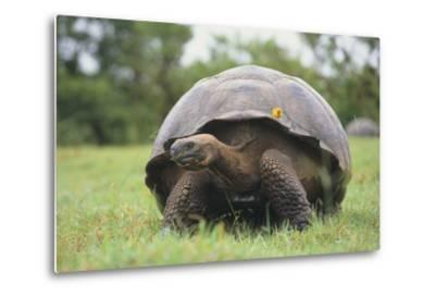 Galapagos Tortoise in the Grass-DLILLC-Metal Print