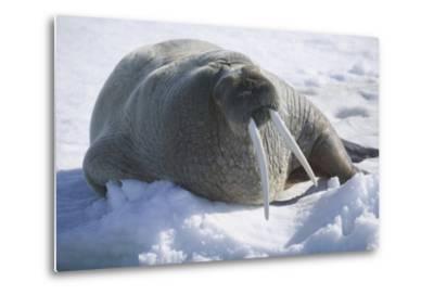 Walrus Resting on an Ice Floe-DLILLC-Metal Print