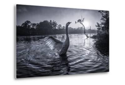 A Male Mute Swan in a Pond Stretches His Wings in Ibirapuera Park-Alex Saberi-Metal Print